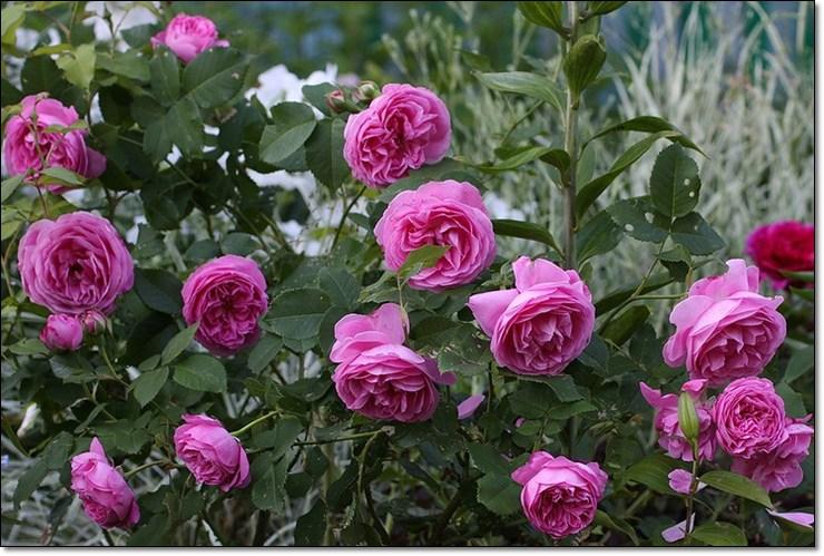 Роза парковая луис одьер фото